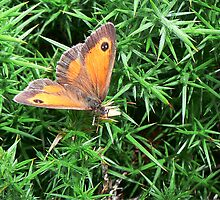 Gatekeeper Butterfly by Phil Emerson