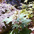 Oak Leaf Hydrangea 2  by Cougarheart