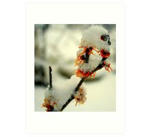 Witch Hazel Blooms Art Print