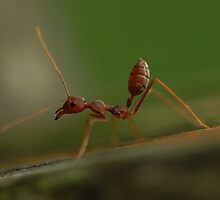 Red Ant stretching by Meng Foo Choo