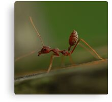 Red Ant stretching Canvas Print