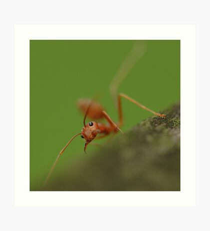 Red Ant snaring Art Print