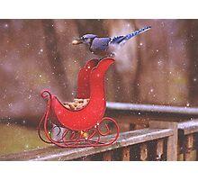 Winter Blue Jay #1 Photographic Print