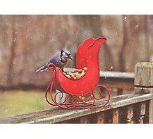 Winter Blue Jay #3 Photographic Print