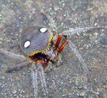 Garden Orb Weaver Spider by Mark  O'Mahony