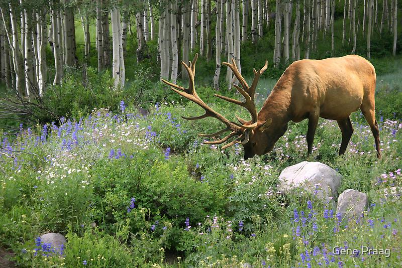 Bull Elk by Gene Praag