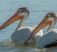 Pair of American White Pelicans Sticker