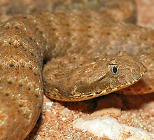 Pilbara death adder by Stewart Macdonald