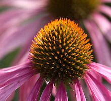Echinacea by Liz Campbell