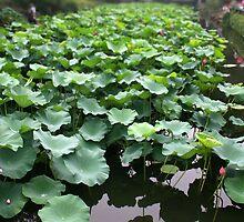 Lotus garden, Suzhou, China by Daniel Rodgers