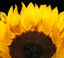 Sunflower in darkness by olwen Fisher
