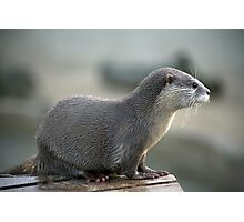 asian short clawed otter Photographic Print