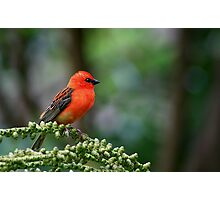 Little Red Robin Hood Photographic Print