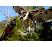 Red Tail Hawk Photographic Print