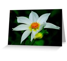 White Dahlia. Greeting Card