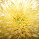 Bursting yellow flower by olwen Fisher