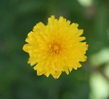 just a little flower by monicaroberson