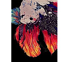 Siamese fighting fish (complete version) Photographic Print