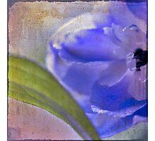 delphinium blue Photographic Print