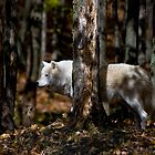 Arctic Wolf in Forest by Michael Cummings
