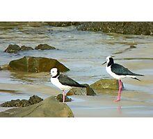 Powered Spring Stilts! - Pied Stilt - Kaka Point - NZ Photographic Print