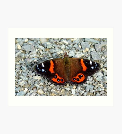 The Red Cloak! - Red admiral Butterfly - NZ Art Print