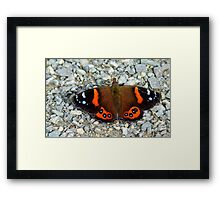 The Red Cloak! - Red admiral Butterfly - NZ Framed Print