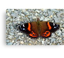 The Red Cloak! - Red admiral Butterfly - NZ Canvas Print