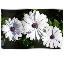 Purple and White Daisys Poster