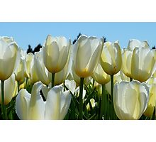Heaven On Earth! - White Tulips - Rural New Zealand Photographic Print