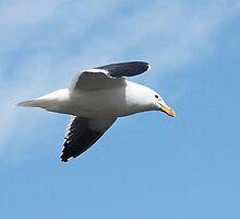 """Kelp Gull ~ """"Wind Beneath My Wings"""" by Robert Elliott"""