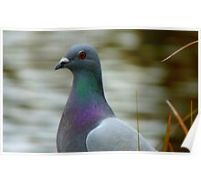 This Is The Life - Wild Pigeon - NZ Poster