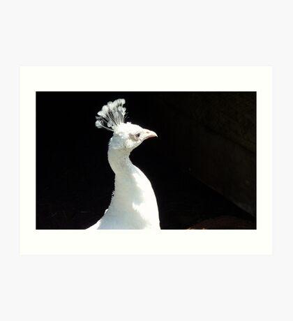Snow White! - Leucistic White Peafowl - NZ Art Print