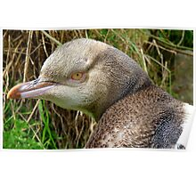 Do I Look Grumpy? - Rare Yellow Eyed Penguin - NZ Poster