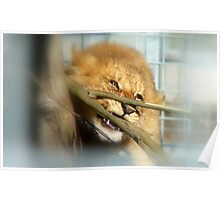 Boy Oh Boy Teething Is A Pain!! - Lion Cub - Orana Wildlife Park - CHC NZ Poster