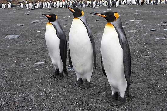 "King Penguins ~ ""On Parade"" by Robert Elliott"