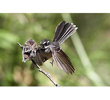 Grey Fantail ~ Come on ... flap like this baby !!  Photographic Print