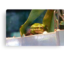 Green & Gold Bells! - Green & Gold Bell Frog - NZ Canvas Print