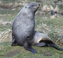 Proud   ~   Antarctic Fur Seal by Robert Elliott