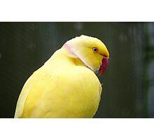 I'm A Perky Fellow! - Ringneck Parrot - Gore NZ Photographic Print