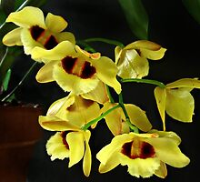 Dendrobium Gatton 'Sunray' FCC-AOS by William Tanneberger