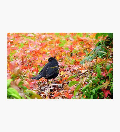 Autumn Rush! - Blackbird - Southland NZ Photographic Print