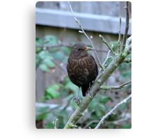 Female Blackbird or Juvenile male?? Canvas Print