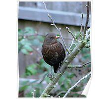 Female Blackbird or Juvenile male?? Poster