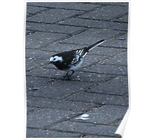 A Pied Wagtail Poster