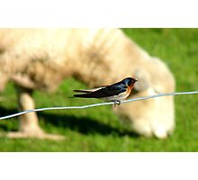 Hey Sir!!..You Eat Allot Of Grass!!! - Welcome Swallow - NZ Photographic Print