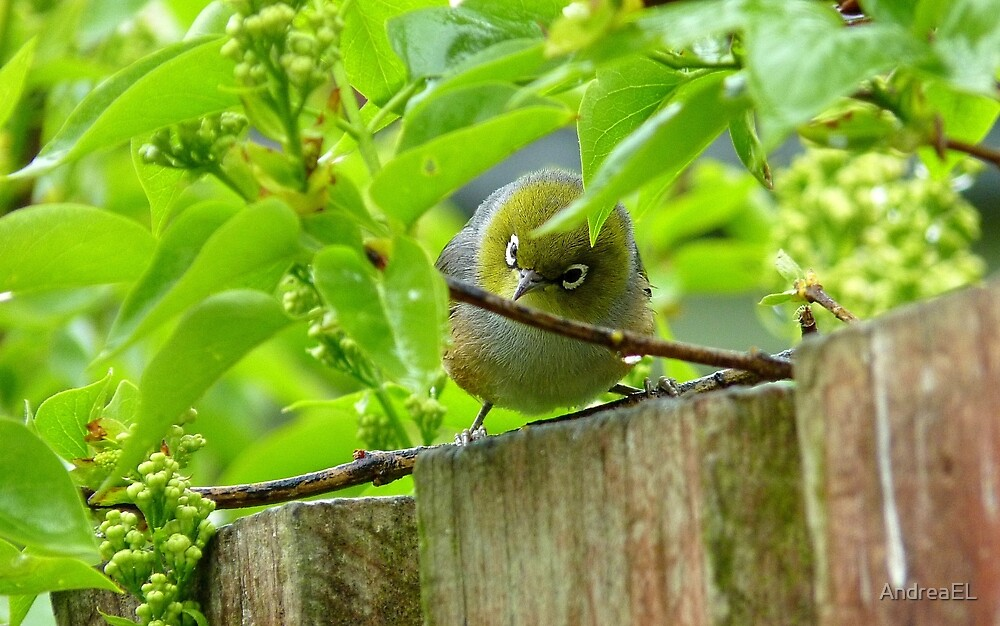 Who Goes There! - Silvereye/Wax Eye NZ by AndreaEL