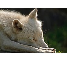 Sleeping Arctic Wolf  Photographic Print