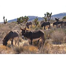 Wild Burros Photographic Print