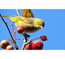 Berry, Berry Delicious - Silver-Eye - Gore Southland Photographic Print